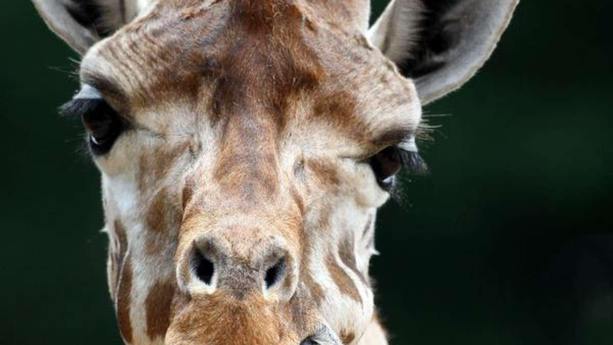 Giraffe Halswirbel