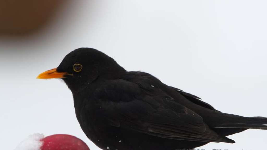 Eine Amsel im Winter. Foto: Tim Brakemeier/Illustration