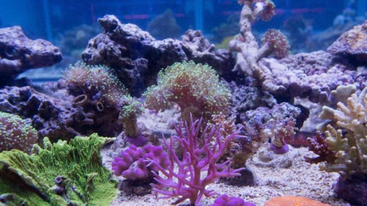korallen brauchen im aquarium besonders viel licht magazin. Black Bedroom Furniture Sets. Home Design Ideas