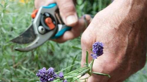 Lavendel Ernten Und Gegen Motten Einsetzen