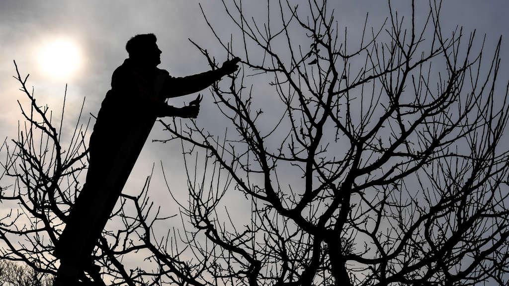 Wie Schneidet Man Obstbäume
