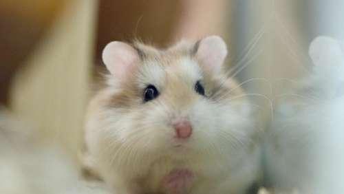 Erwachsene Hamster-Videos
